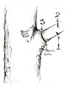 pruningcut